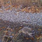 Raccoons Las Palomas 2 16 Dec 15