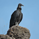 Black Vulture, Rancho El Aribabi - J Rorabaugh - May 2016