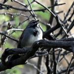 Five stripe sparrow singing - Pete Baum - May 2016
