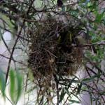 Sinaloa wren at nest  - Pete Baum May 2016