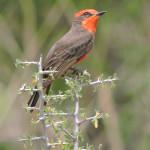 Vermillion Flycatcher, Rancho El Aribabi - J. Rorabaugh - May 2016