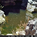 Sonoran Whipsnake Arroyo Tinaja, Rancho El Aribab - July 2016i
