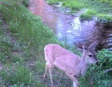 WT Deer, River Cam